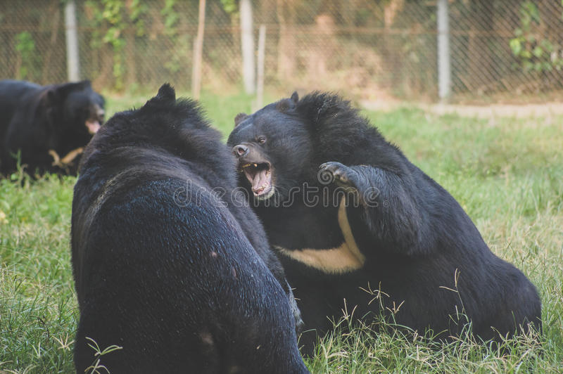 Black bears. Are fight in the field stock photography