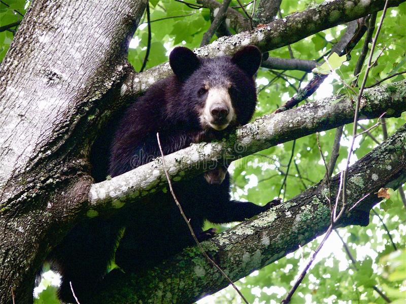 Black Bears in a Tree. Black bears in NorthCarolina mountain forest stock photography