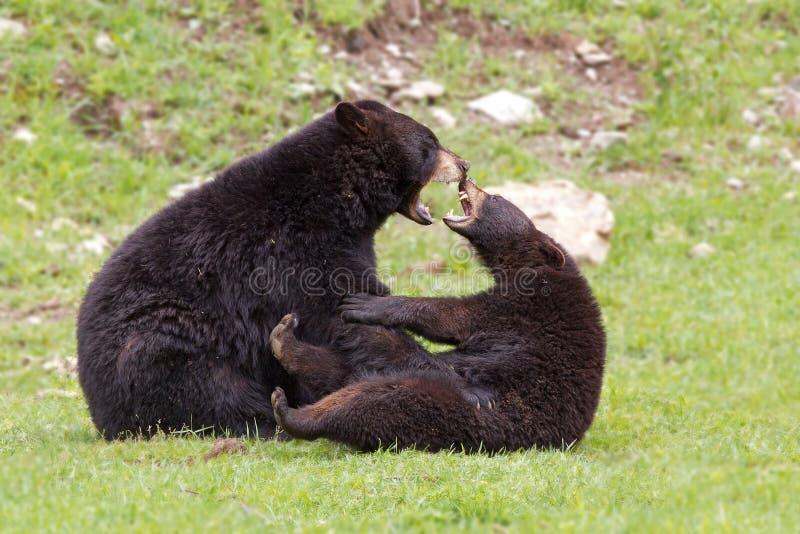 Black bears stock photography