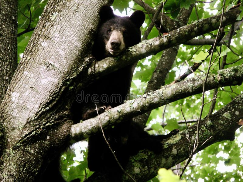 Black Bears in a Tree. Black bears in NorthCarolina mountain forest stock images