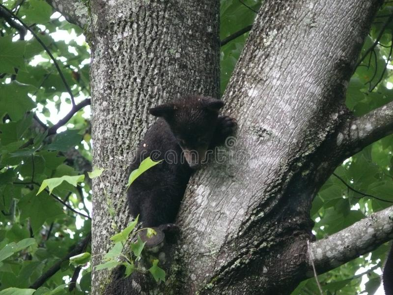 Black Bears in a Tree. Black bears in NorthCarolina mountain forest royalty free stock photo