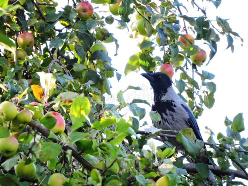 Crow bird on apple tree branch, Lithuania stock image