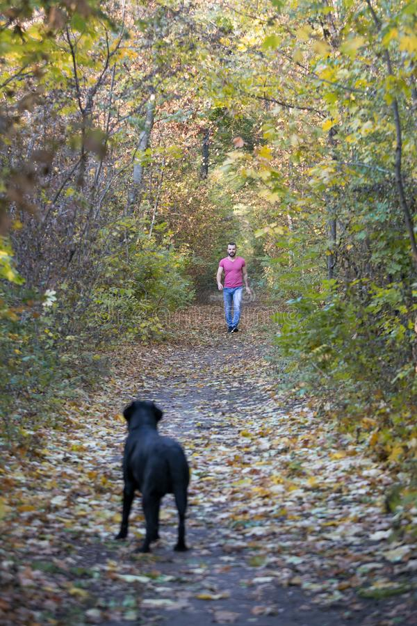 Black beautiful Labrador in the woods. Behind on path goes is a master. Warm autumn evening in the forest royalty free stock photos