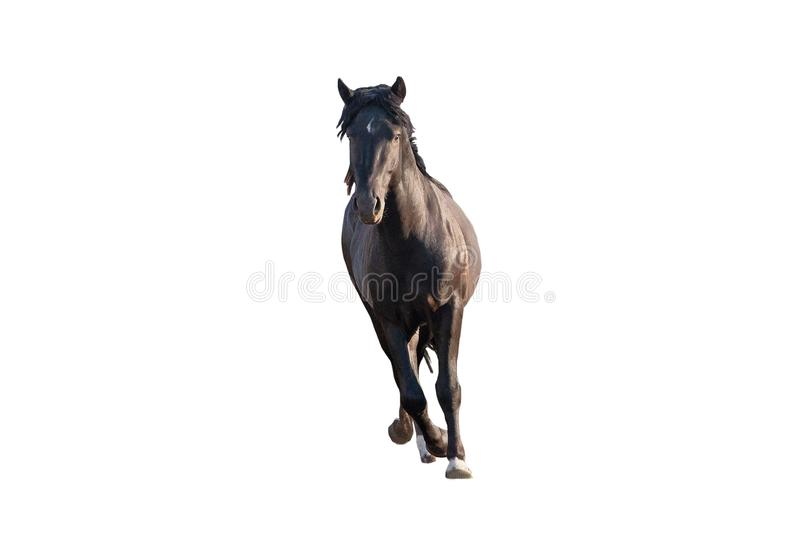 Black beautiful young strong racehorse galloping she is isolated on a white background, farm animal, horse on a white background stock photography