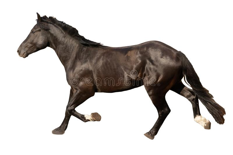 Black beautiful young strong racehorse galloping she is isolated on a white background, farm animal, horse on a white background royalty free stock images