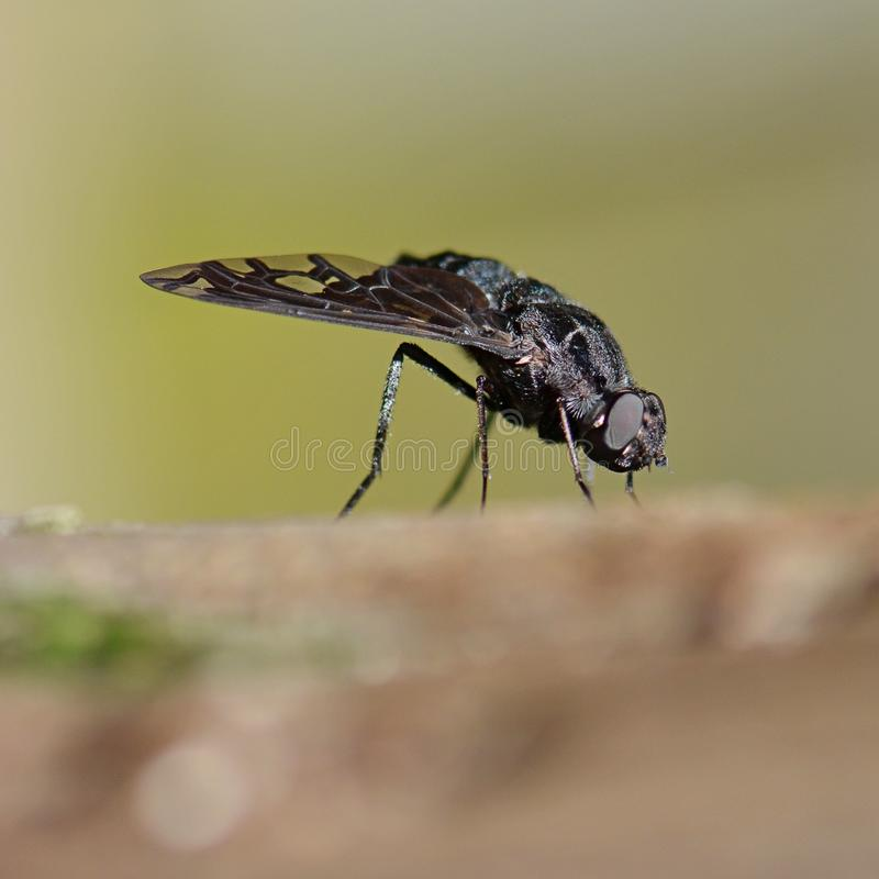 Free Black Bee Fly Insect Macro Stock Images - 54218044