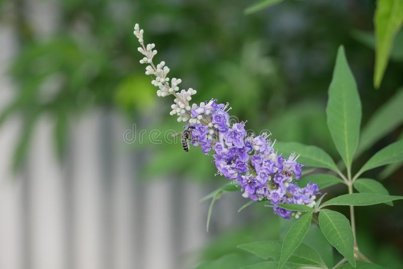 Black Bee Pollinating a Purple Texas Lilac Inflorescence royalty free stock image