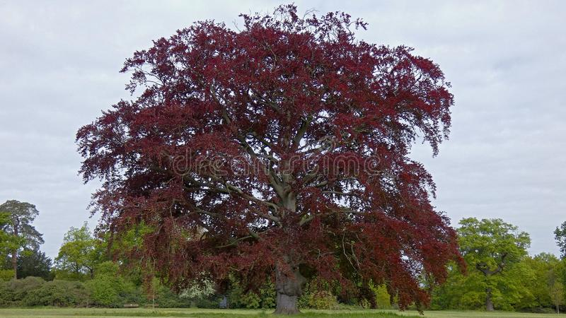 Black Beech Tree in a Park royalty free stock photo