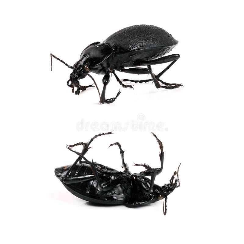 Download Black beetle stock photo. Image of huge, ground, macro - 25924666