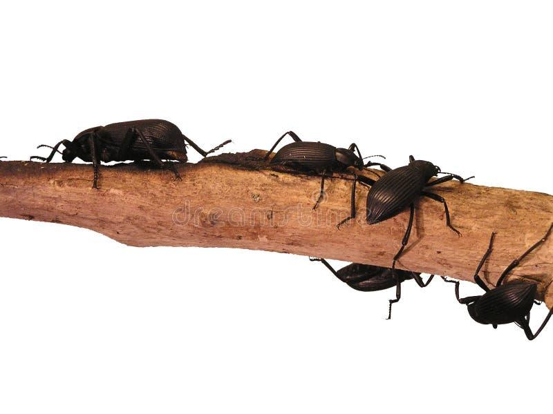 Black Beetles stock image