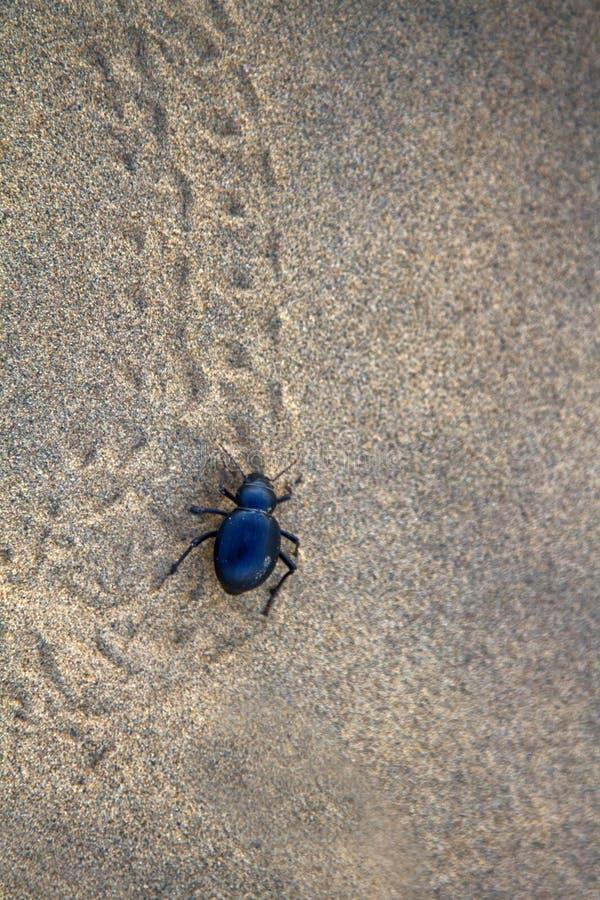 Free Black Beetles Darkling Beetles, Blaps Roam Sands Royalty Free Stock Photos - 137901228