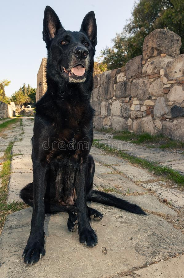 Black Belgian Malinois dog sitting on paving stone of an ancient greek alley royalty free stock photo