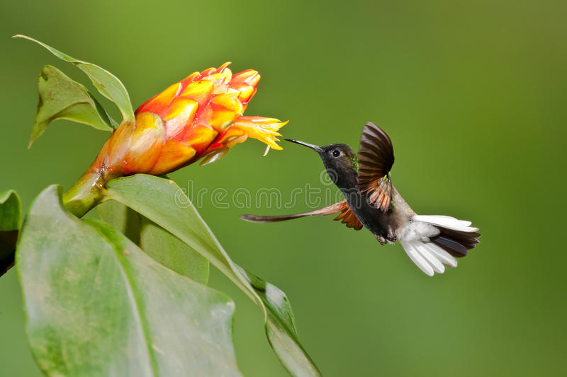 Download Black Bellied Hummingbird stock photo. Image of flower - 28311804