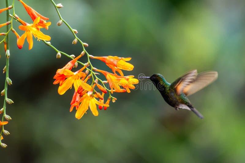 Black-bellied hummingbird, Eupherusa nigriventris, hovering next to orange flower, bird from mountain tropical forest,Costa Rica. Black-bellied hummingbird stock photography