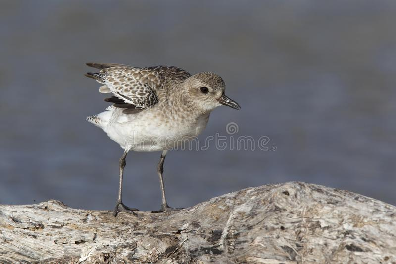 A black-bellied plover Pluvialis squatarola stretching its wings perched on a branch above a shallow pond in Fort Myers Beach . A black-bellied plover Pluvialis stock image
