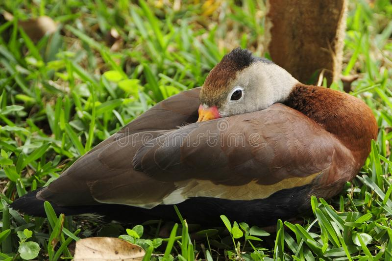 Emma, a Black-Bellied whistiling duck, relaxes at the Toucan Rescue Ranch, a Costa Rican wildlife rescue facility in Costa Rica. stock photo