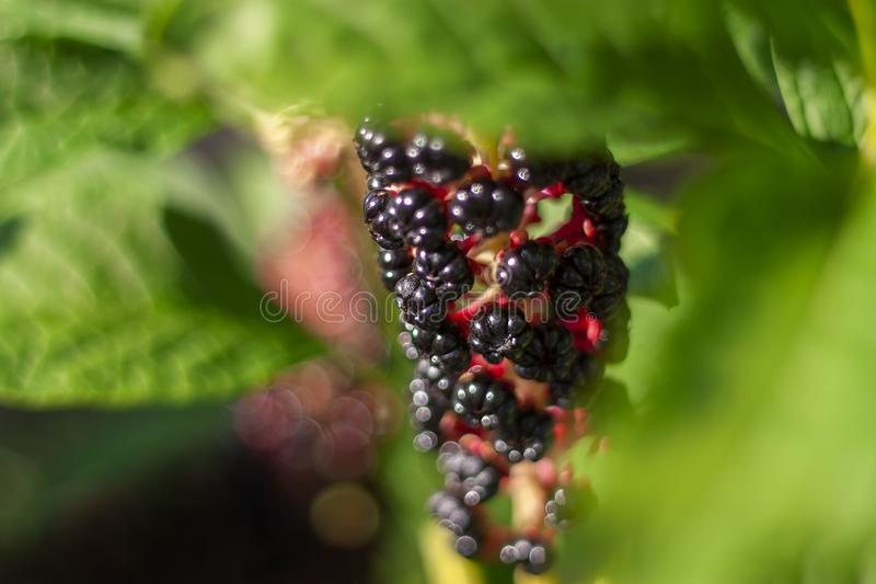 Phytolacca Americana, The American Pokeweed Or Simply Pokeweed With Black Berries. stock photo