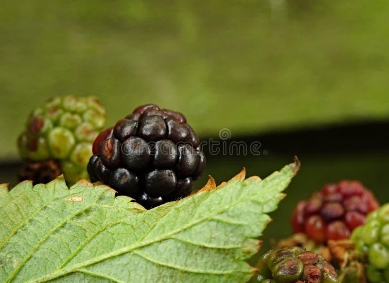 Black Berry royalty free stock photo