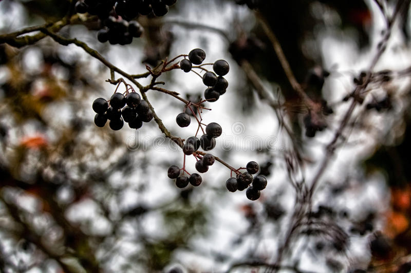 Black berry. Black-fruited mountain ash, against the sky and pine branches royalty free stock photos