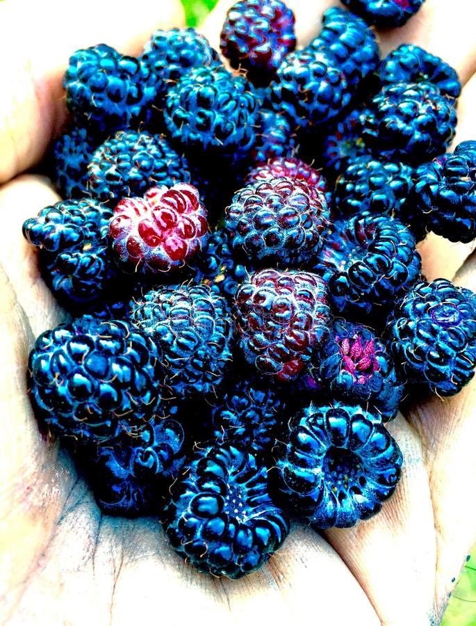 Black berry season royalty free stock photography