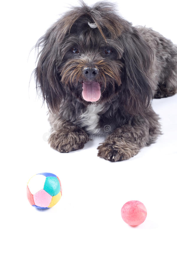 Black bichon looking at some toys stock photos