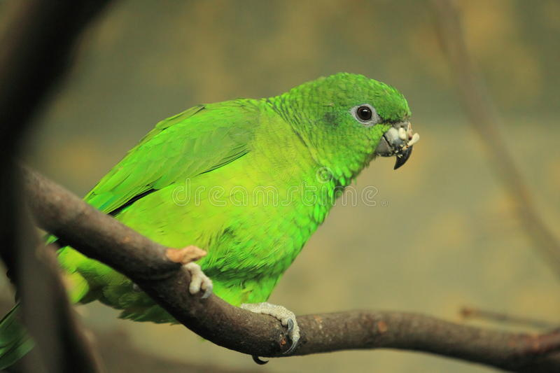 Black-billed amazon. The black-billed amazon sitting on the branch stock image