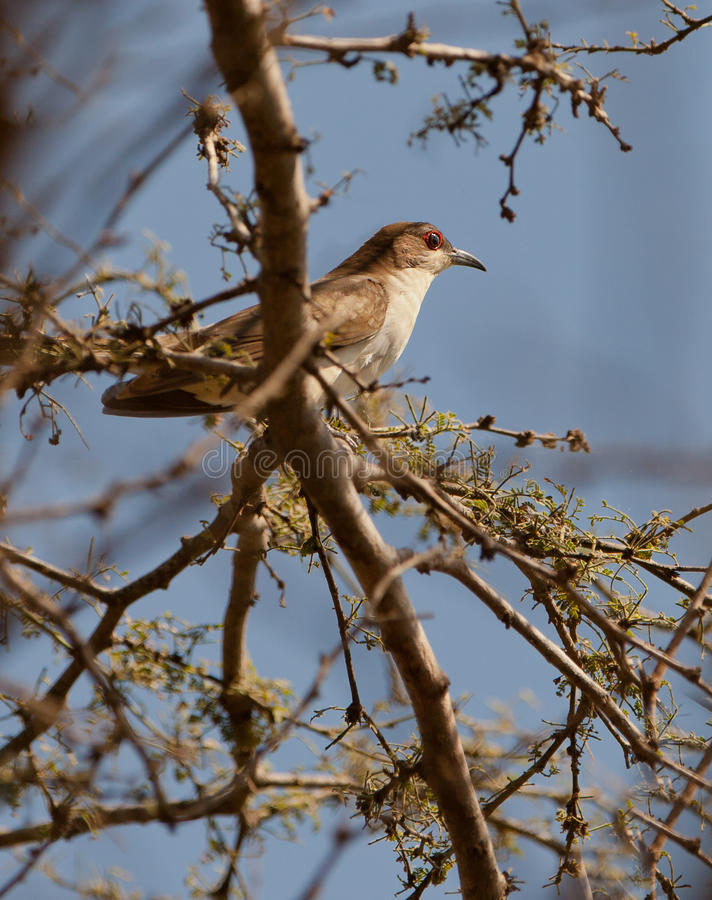 Free Black-billed Cuckoo Royalty Free Stock Images - 25247099
