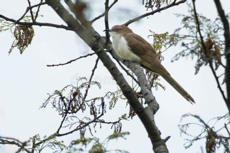 Black-billed Cuckoo. Perched on a branch royalty free stock images