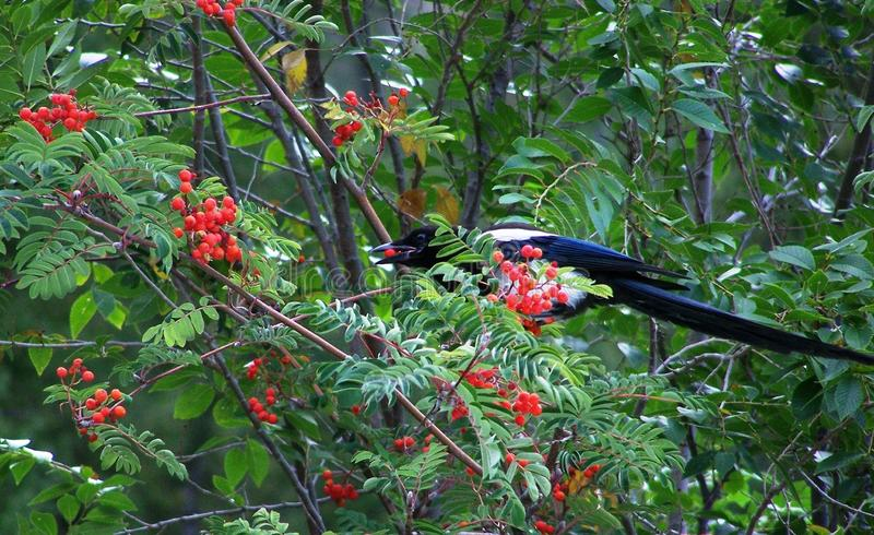 Black-billed Magpie Feasting on Ripe Mountain Ash Berries. A beautiful Black-billed Magpie feasts on the ripe berries of the Mountain Ash tree. The bright red royalty free stock image