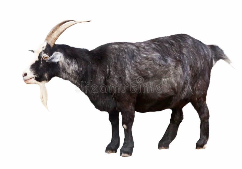 Black billy goat over white. Background stock photo
