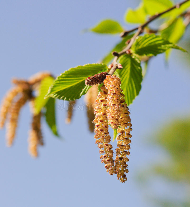 Black Birch Catkins. In the Summer Sun stock photography