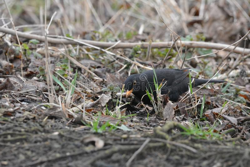 Black-bird in Abcoude in the Netherlands. Black-bird walking on the ground, February, winter location: Abcoude the netherlands royalty free stock image
