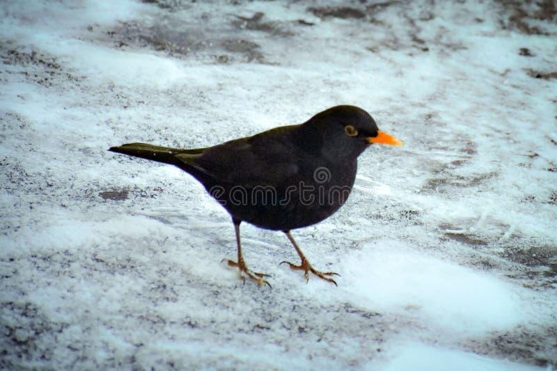 Black bird blackbird with orange beak stock photography