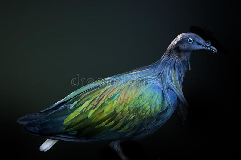 Black bird with blue and green shimmer on feathers black background. Black bird with blue and green shimmer on feathers with a blurred rocky royalty free stock photo