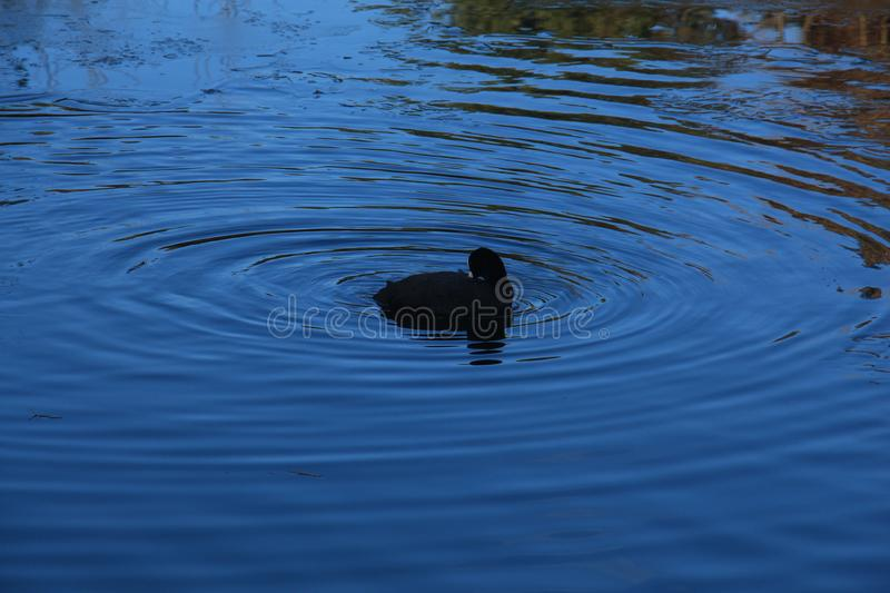 Black bird in the blue water with ripples stock photo