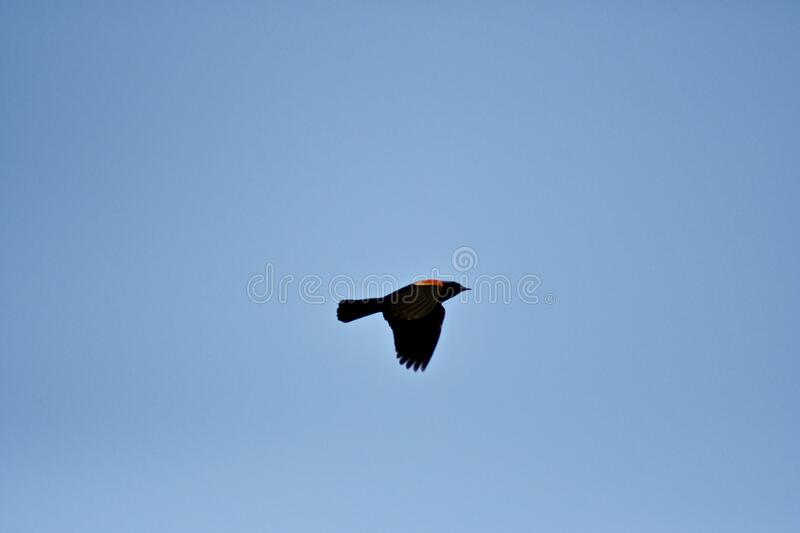 Black bird flying in a blue sky during daytime - a cool picture for wallpapers and backgrounds. A black bird flying in a blue sky during daytime - a cool picture stock images