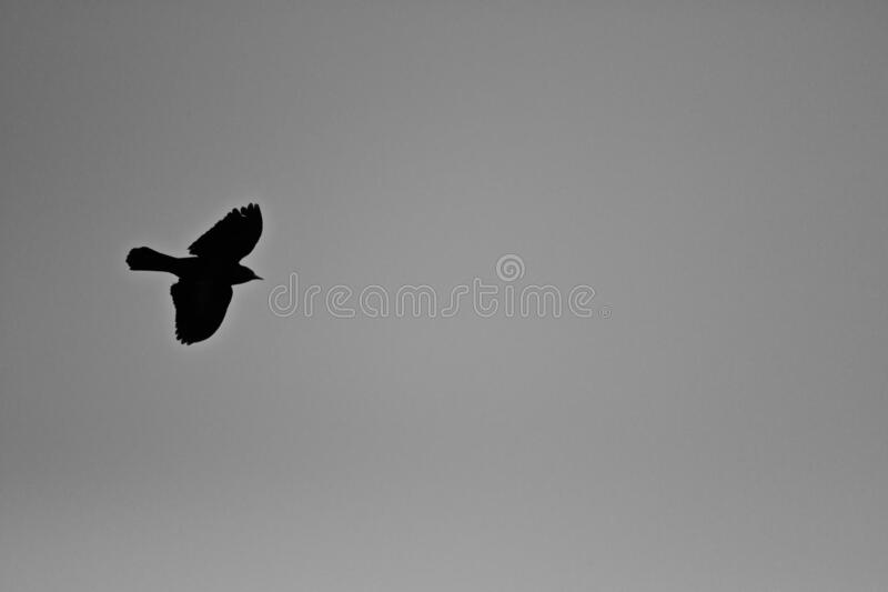 Black bird flying in a grey sky during daytime - a cool picture for wallpapers and backgrounds. A black bird flying in a grey sky during daytime - a cool picture stock photos