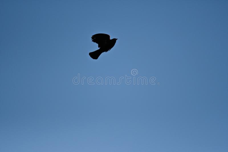 Black bird flying under a blue sky during daytime - a cool picture for backgrounds and wallpapers. A black bird flying under a blue sky during daytime - a cool stock photo