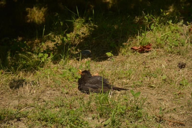 Black bird on the grass. Little black bird resting on the scorched grass royalty free stock image