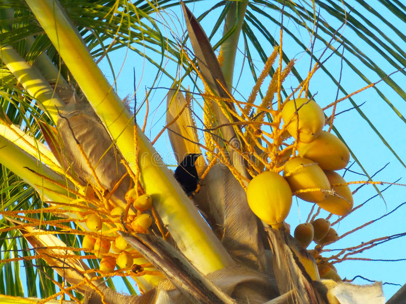 Black bird in the middle of a coconut tree, at the beach. Caribbean sea. Venezuela. This picture was at the beach. This little black bird were just eating from stock photo