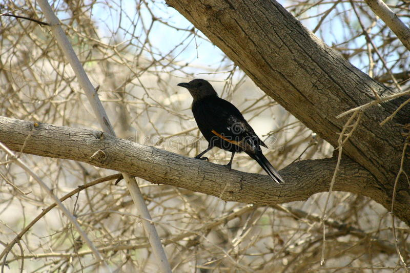 Black bird royalty free stock photos