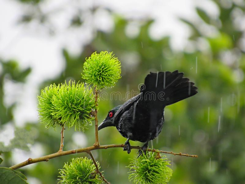 Black Bird Out In The Rain. Asian Glossy Starling perched on a rambutan tree branch while out in the rain