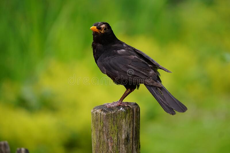 Black Bird Perched on Brown Wooden Pedestal Closeup Photography during Daytime royalty free stock photography