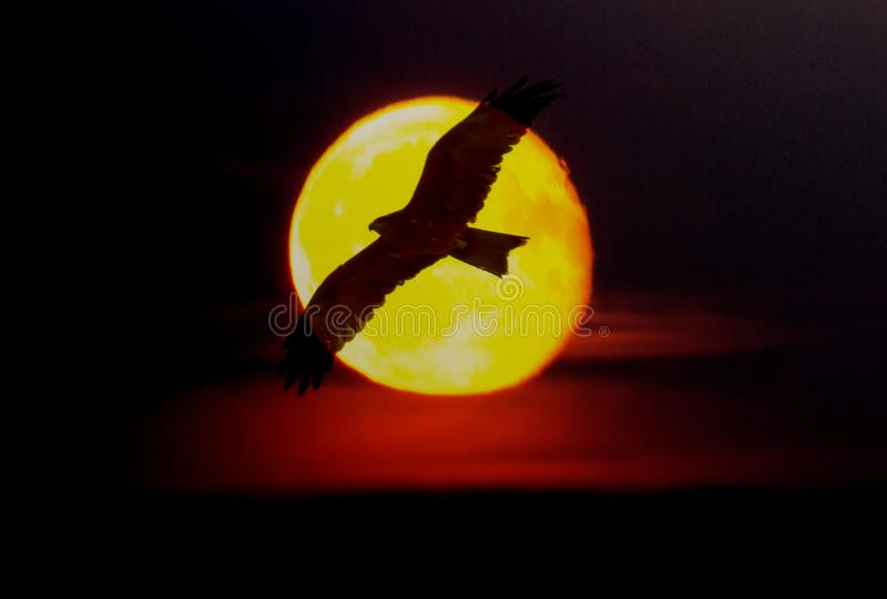 Black bird of prey against the Golden disk of sun royalty free stock photography
