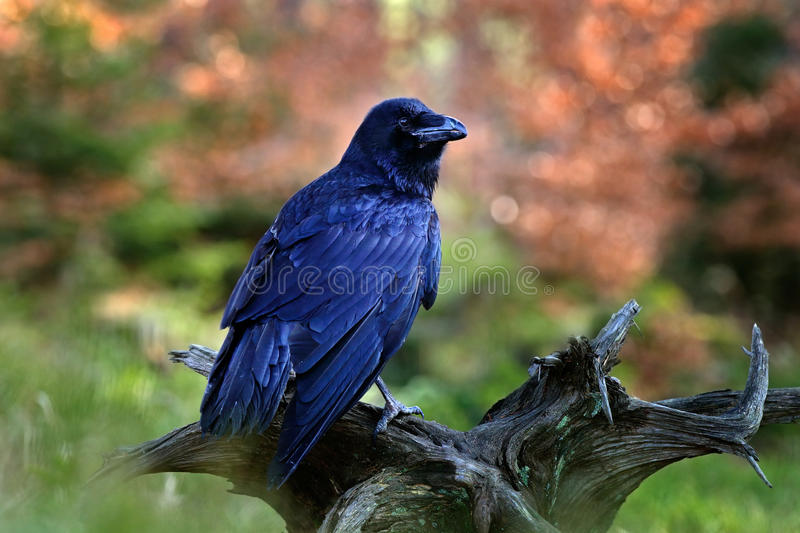 Black bird raven sitting on the tree trunk in the forest nature habitat, animal in autumn wood, dark plumage and big bill, Finland royalty free stock images