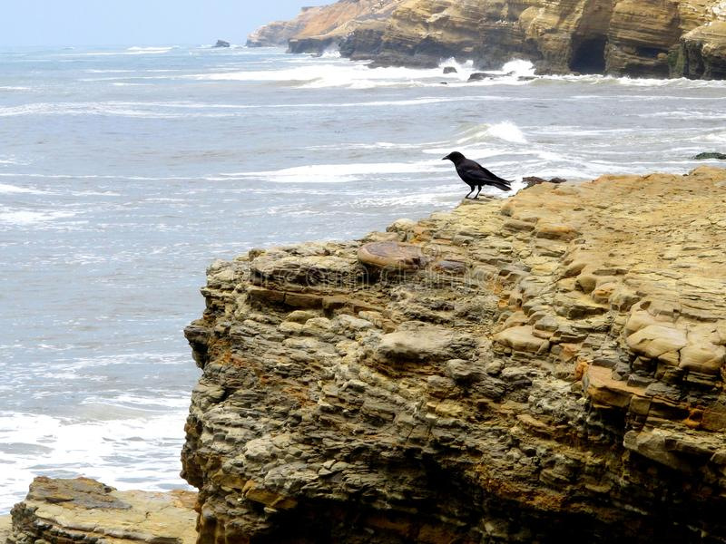 Black Bird on the Sedimentary Layers of a Pacific Coast Cliff royalty free stock image