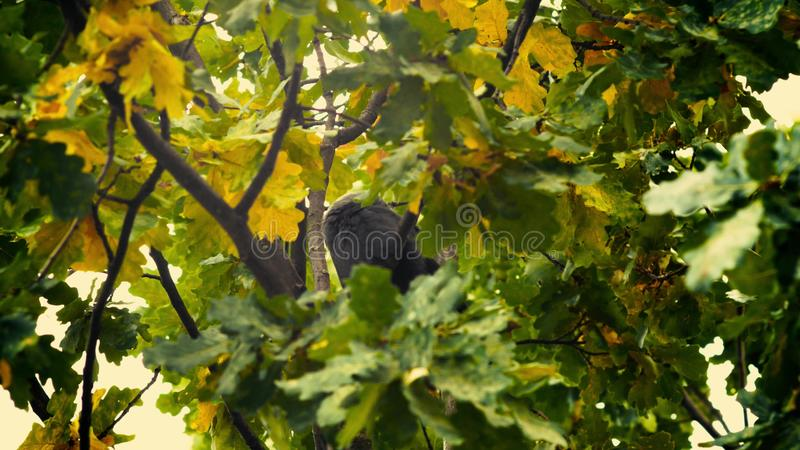 A black bird sitting in leaves. Autumnal Oak Leaves Late summer early autumn sunlight through oak leaves. Autumnal Oak Leaves Late summer early autumn oak stock photo