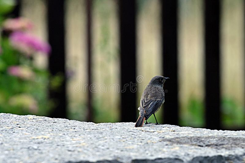 Black bird. In spring a bird stay on the stone waiting for lunch stock images