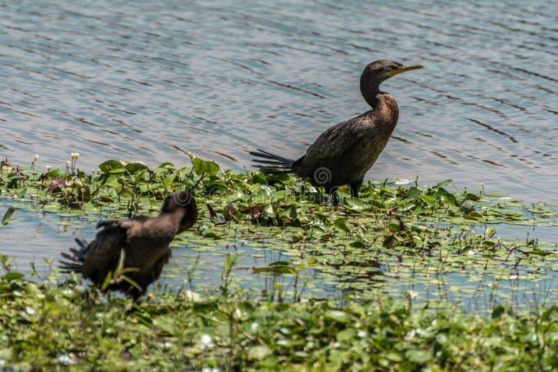 Black bird standing at the Lagoa da Chica, in Florianopolis, Brazil. 2019, January. Florianopolis, Brazil. Black bird standing at the Lagoa da Chica. The bird is stock image