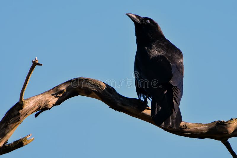 Black Bird on Top of Brown Driftwood royalty free stock photos